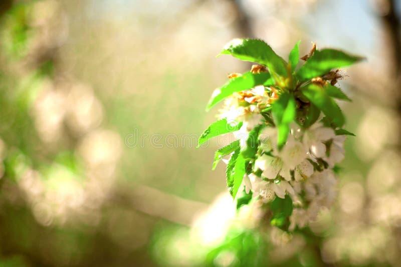 Vår Apple träd i blomning royaltyfria bilder