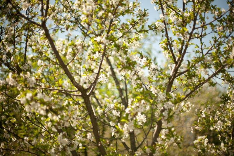 Vår Apple träd i blomning Blommor av äpplet vita blom av att blomstra upp trädslut Härlig våraprikos royaltyfri fotografi