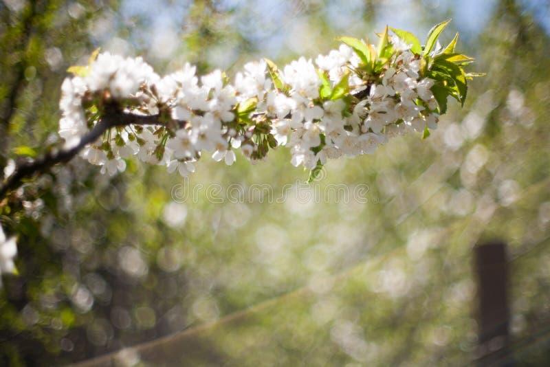 Vår Apple träd i blomning Blommor av äpplet vita blom av att blomstra upp trädslut Härlig våraprikos arkivfoto