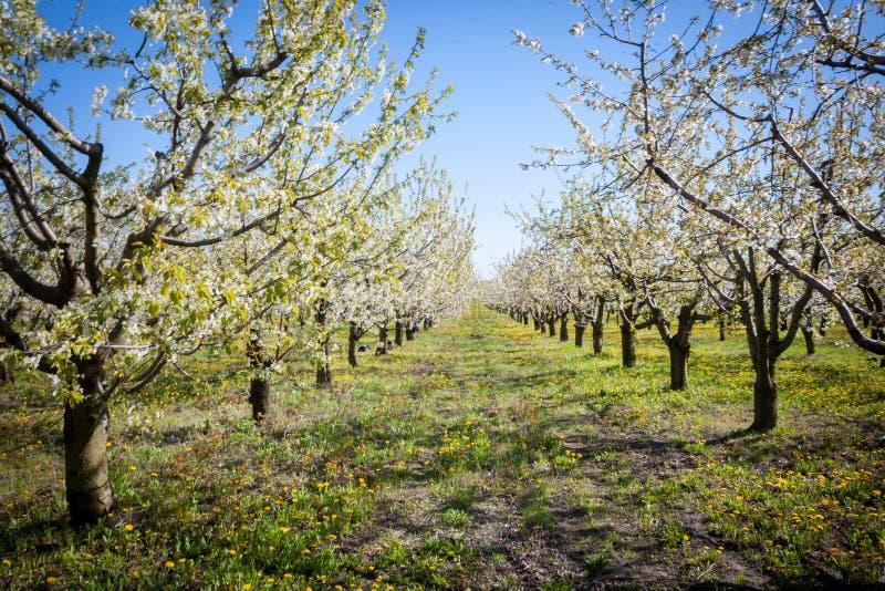 Vår Apple träd i blomning Blommor av äpplet vita blom av att blomstra upp trädslut Härlig våraprikos arkivfoton