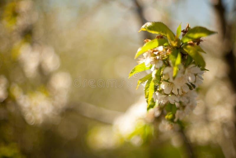 Vår Apple träd i blomning Blommor av äpplet vita blom av att blomstra upp trädslut Härligt våraprikosträd med whi royaltyfri foto