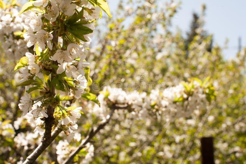 Vår Apple träd i blomning Blommor av äpplet vita blom av att blomstra upp trädslut Härligt våraprikosträd med whi royaltyfria bilder