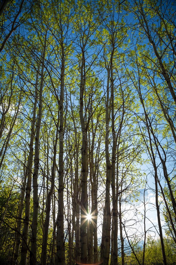 Vår Aspen Trees royaltyfria foton