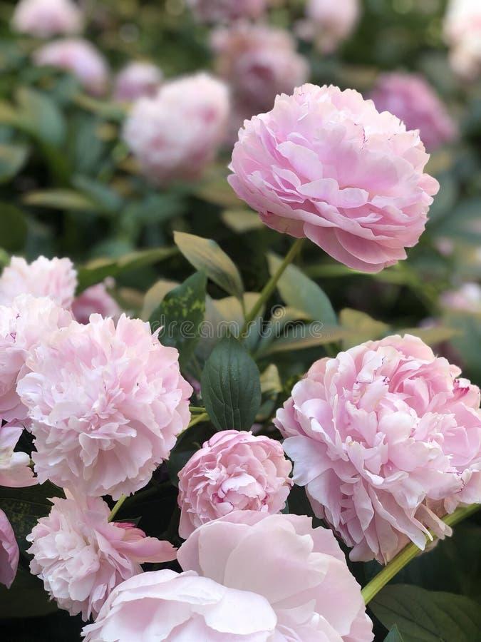Vår, blommamjukhet, rosa färg, pioner royaltyfria foton