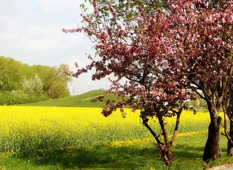 Vår, canolagulingfält och blomningträd royaltyfria bilder