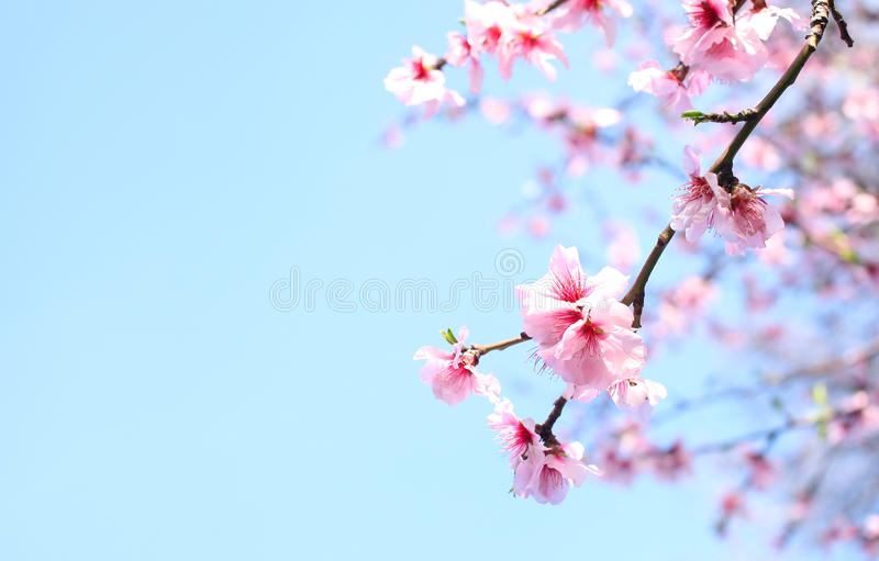 Vår Cherry Blossoms arkivfoto