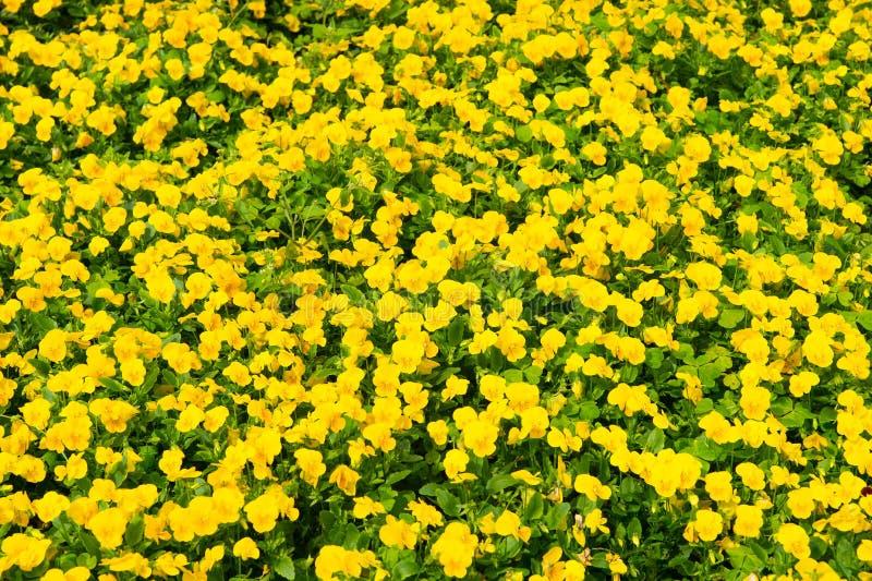 Vår eller sommar Gula pansies med gröna sidor i Hamilton, Bermuda Penséblommor i vår eller sommarblom royaltyfri foto