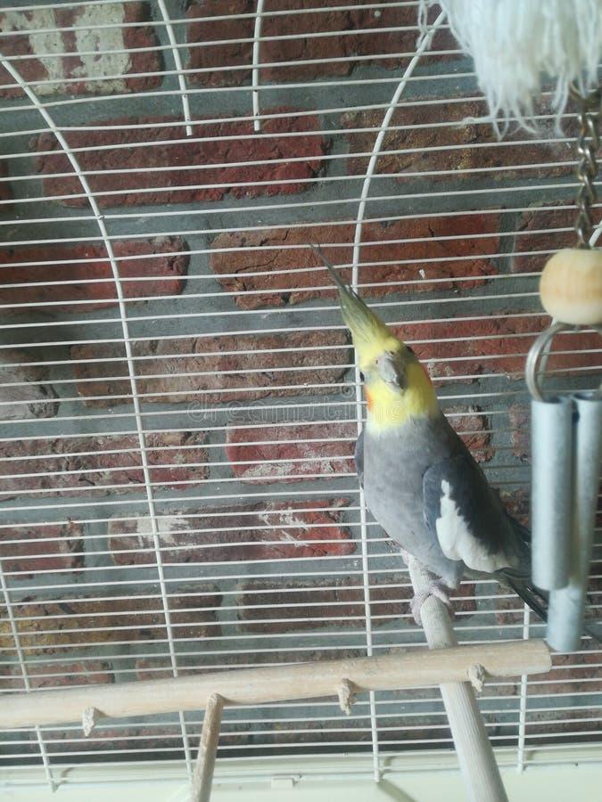Vår fågel & x22; Laslo& x22; royaltyfria bilder