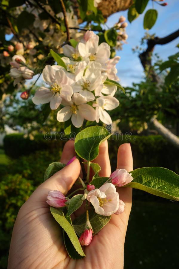 Vår för blomning för träd för äpple för kvinnahandinnehav royaltyfri fotografi