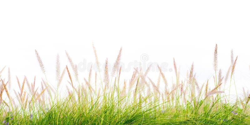 Vår för grönt gräs för blomma isolerad ny arkivfoton