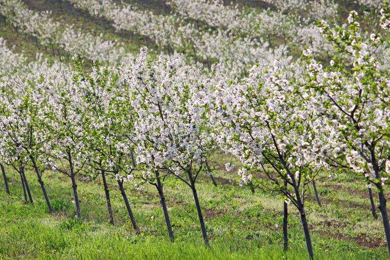 Vår för landskap för körsbärsröd fruktträdgård åkerbruk royaltyfria foton