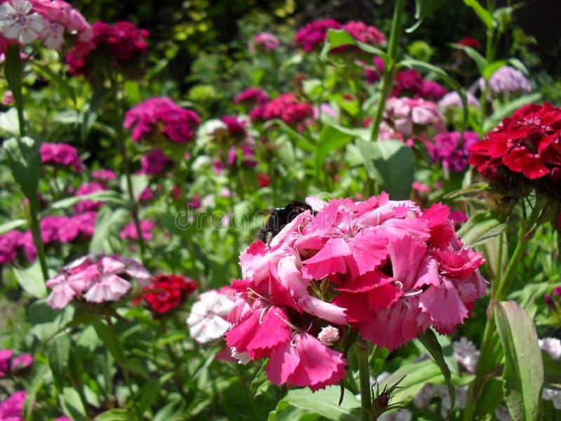 Vår för sommar för frotténejlikablommor fotografering för bildbyråer