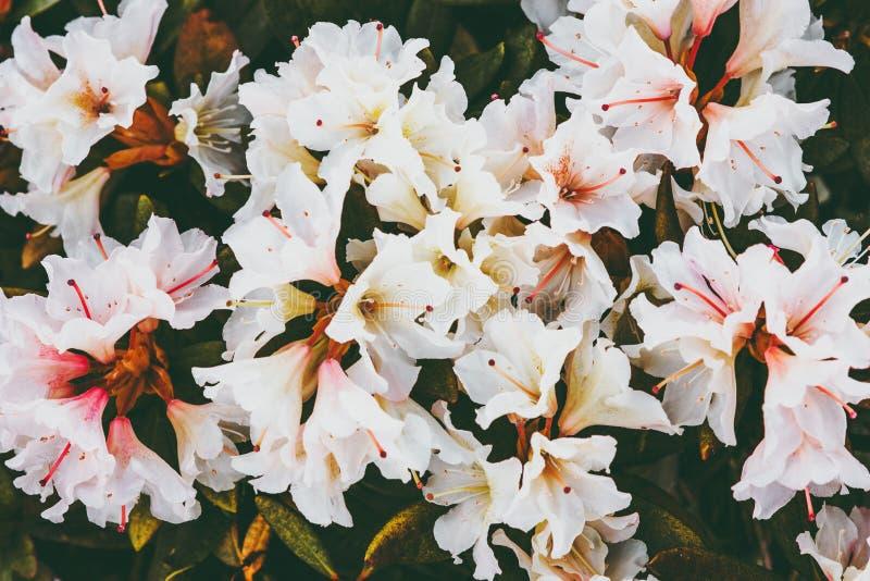 Vår för vita blommor för rhododendroner säsongsbetonad härlig royaltyfria foton