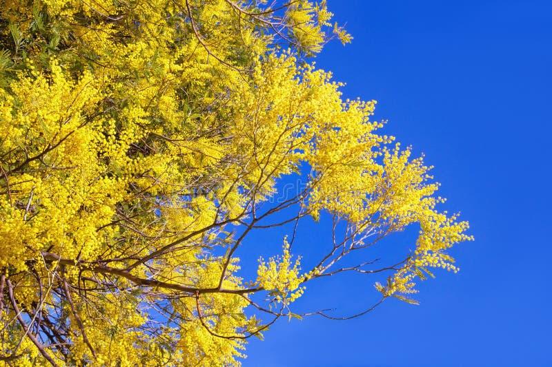 Vår Filialer av mimosan för blomningakaciadealbata mot blå himmel fotografering för bildbyråer