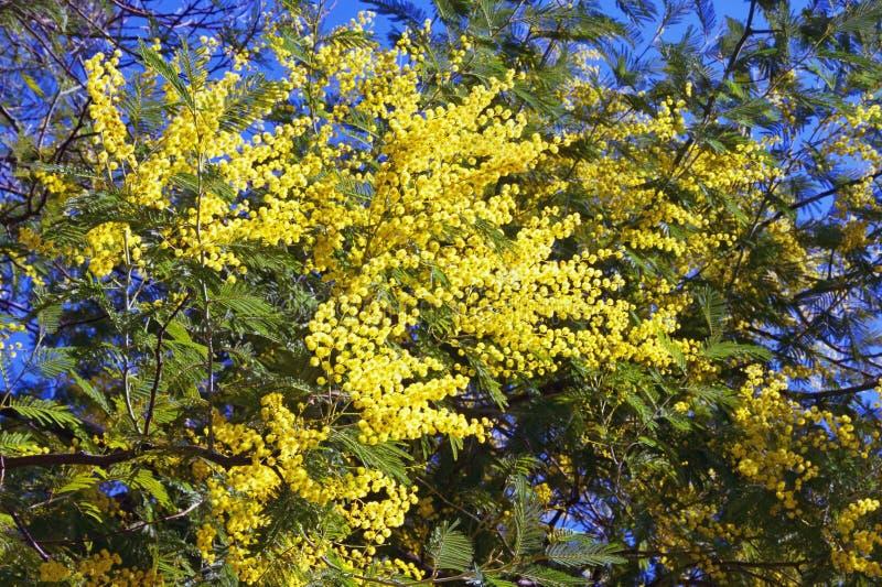 Vår Filialer av trädet för akaciadealbatamimosa med ljusa gula blommor på solig vårdag royaltyfri foto