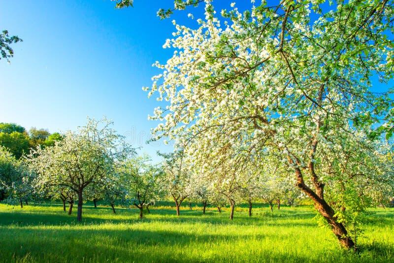 Vår Härligt landskap med att blomstra äppleträdgården arkivbild