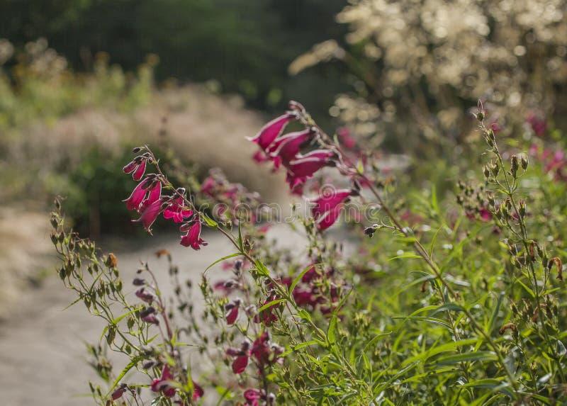 Vår i London; en solbelyst äng mycket av violetta blommor royaltyfria foton