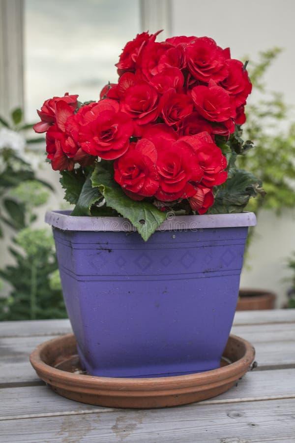Vår i London, England; röd inlagd blomma royaltyfria foton