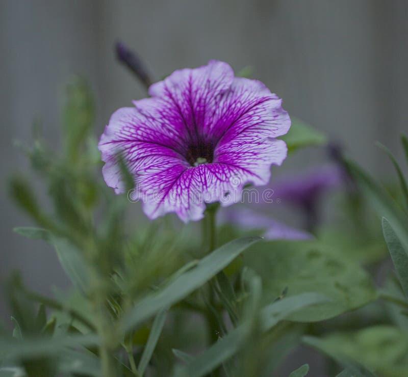 Vår i London, England; rosa och violett blomma royaltyfria bilder