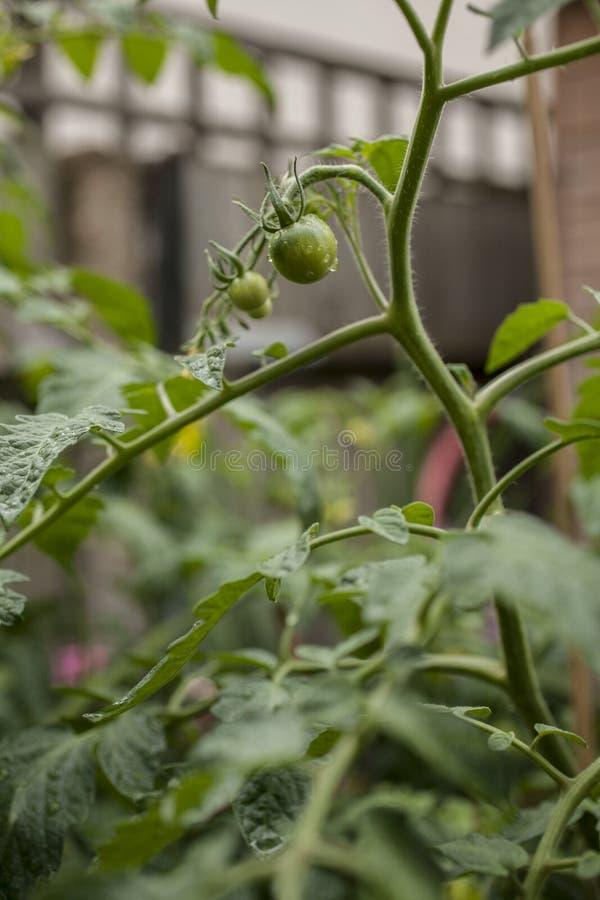 Vår i London, England; sidor för tomatväxt och små tomater arkivfoto