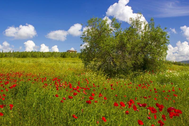 Vår i Tuscany, landskap med vallmo royaltyfri foto