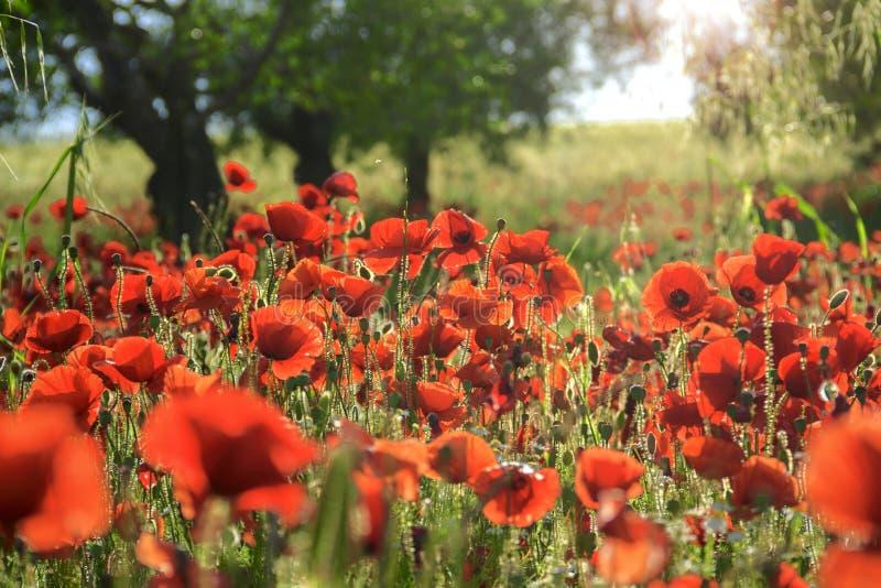 Vår Mellan Apulia och Basilicata Bakbelysta vallmo i ett fält med träd italy arkivfoto