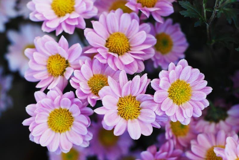 Vår- och sommarblommor Slut upp av rosa Chrisantemum bukettbakgrund arkivbilder