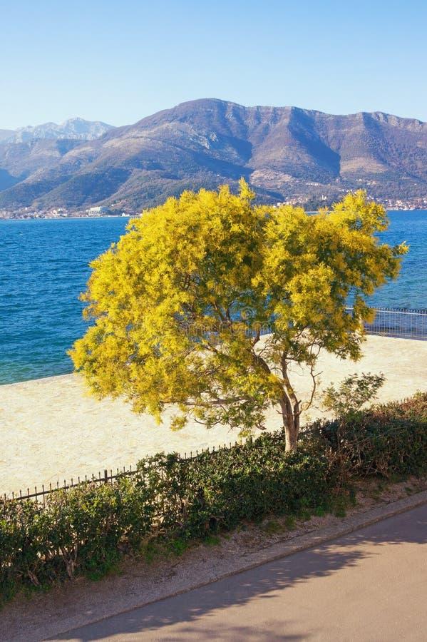 Vår Sikt av dealbataen för mimosaträdakacia i blom på kust av den Kotor fjärden på solig vårdag Montenegro arkivbild