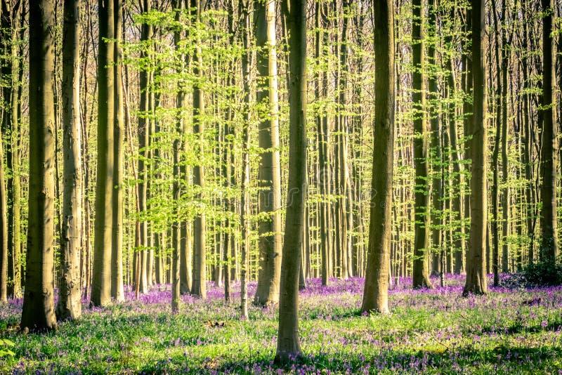 Vår: soluppgång, en matta av blåklockor och sequoiaträd i blåklockaträt Hallerbos NP, Halle, Flanders, Belgien arkivbild