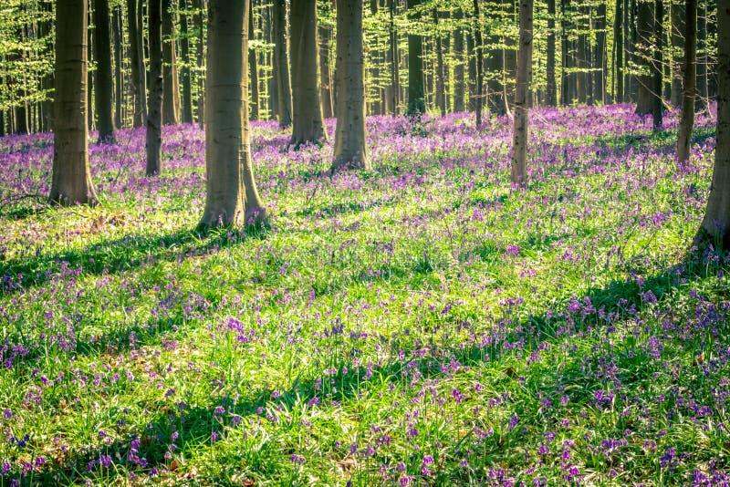 Vår: soluppgång, en matta av blåklockor och sequoiaträd i blåklockaträt Hallerbos NP, Halle, Flanders, Belgien arkivbilder