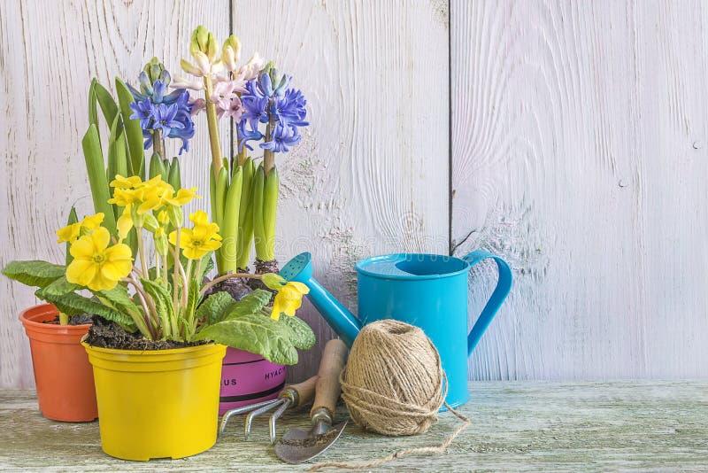Vår som arbeta i trädgården begrepp: Vårblommor för koloni och arbeta i trädgårdenhjälpmedel på whte målar träbakgrund med kopier royaltyfri foto