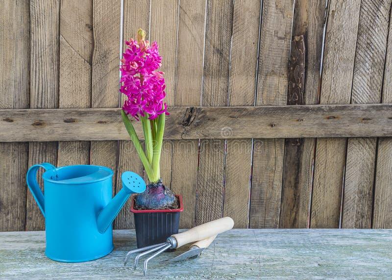 Vår som arbeta i trädgården sammansättning med den purpurfärgade hyacintblomman arkivbild