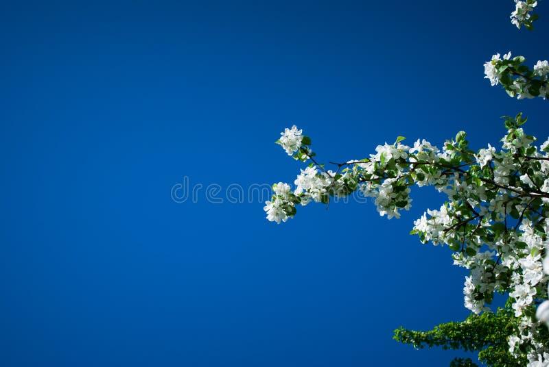 Vår som blommar den Apple blomningfilialen Apple royaltyfri bild