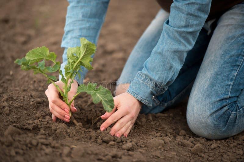 Vår som planterar i de kvinnliga agronomhänderna för fält royaltyfri fotografi