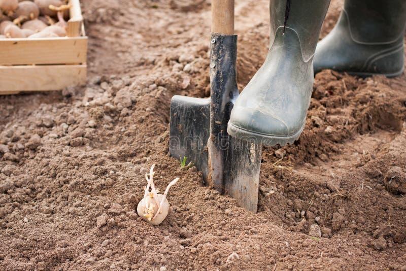Vår trädgårdsmästarePlanting Potato On för jordbruks- land arkivbilder