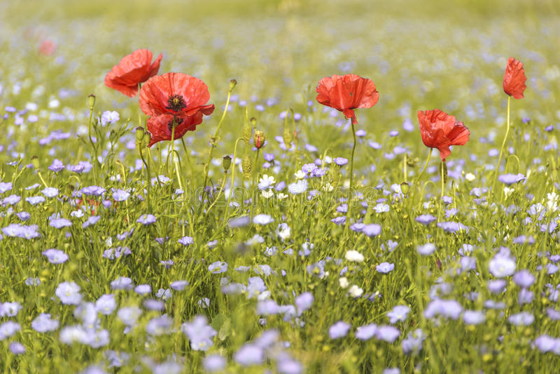 Vår Vallmo i ett fält av blåa blommor Apulia ITALIEN arkivbild