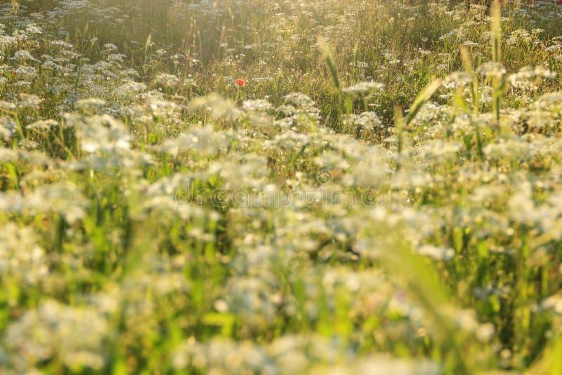 Vår Vallmo i ett fält av blåa blommor Apulia ITALIEN fotografering för bildbyråer