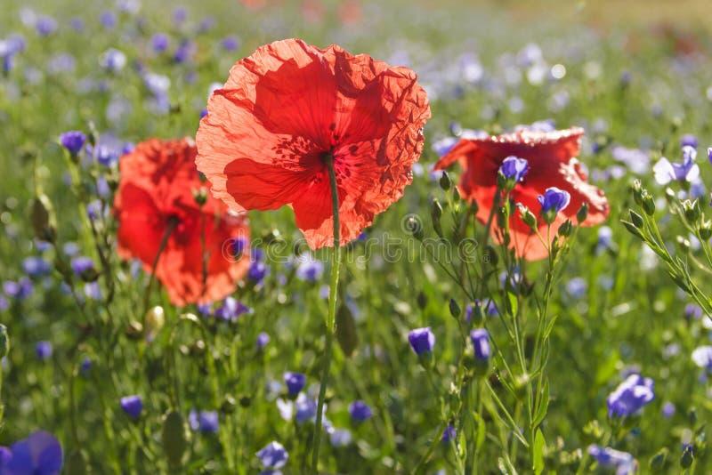 Vår Vallmo i ett fält av blåa blommor Apulia ITALIEN royaltyfri foto