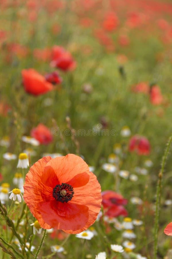 Vår Vallmo i ett fält med kamomill blommar, Italien Apulia royaltyfri fotografi