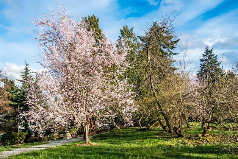 Vår vita Cherry Blossoms 4 fotografering för bildbyråer