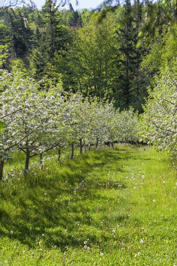 VårApple fruktträdgård royaltyfria foton