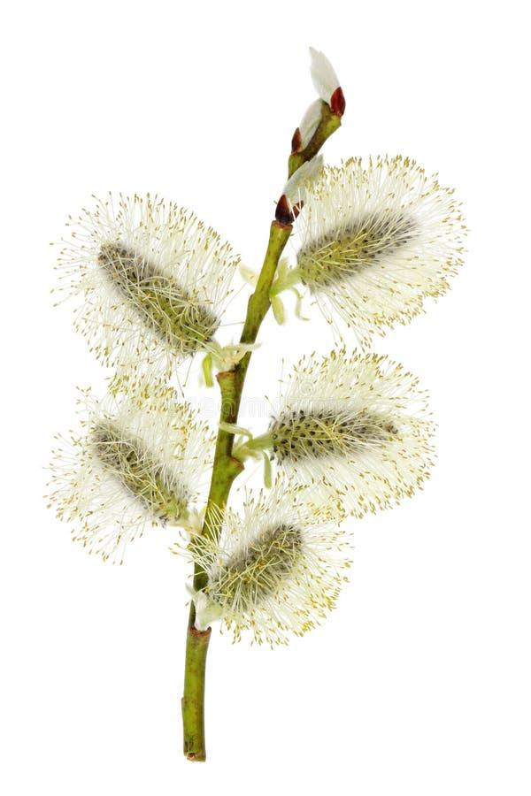 VårApril filial med blomningknoppar av den lösa videt arkivfoton