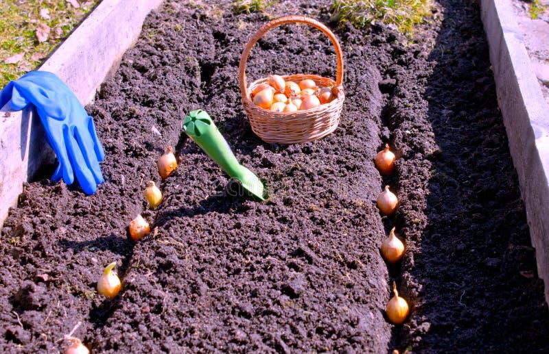 Vårarbete på att så grönsaker på den förberedda sängen royaltyfria bilder