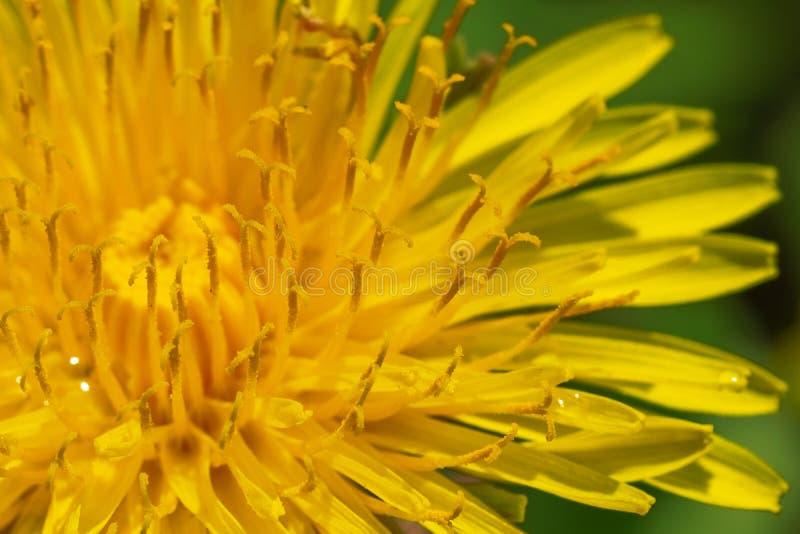 Vårbakgrund av att blomma maskrosen arkivfoton