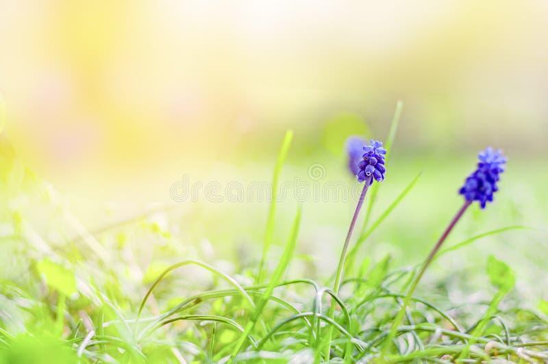 Vårbakgrund - blomningen av muscarien blommar i fältet Spr arkivfoto