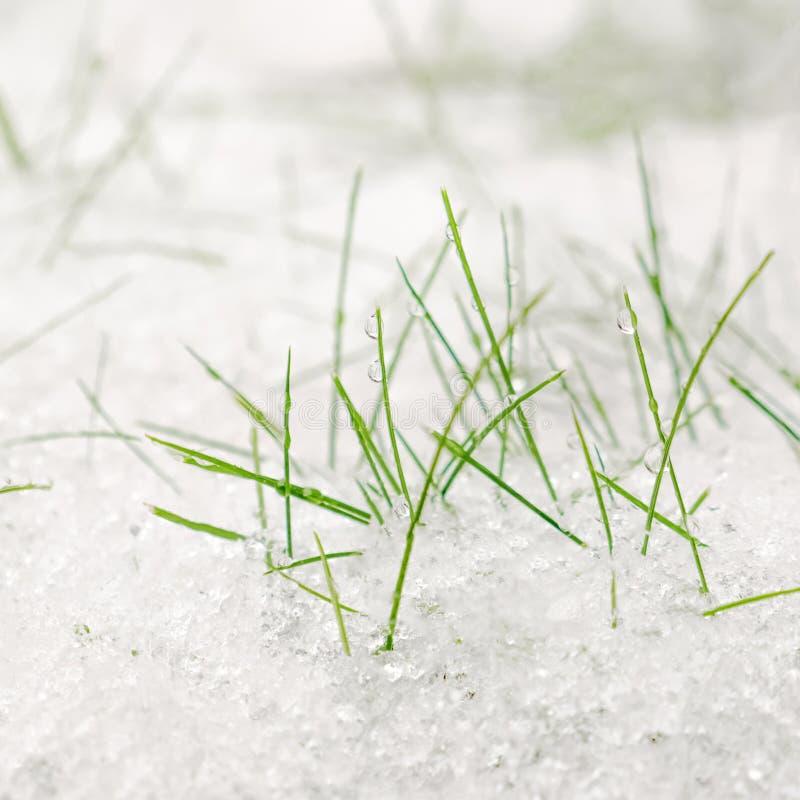 Vårbakgrund Första snö som ligger på grönt gräs royaltyfria foton