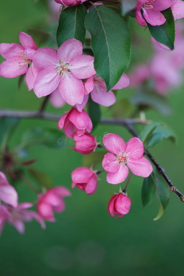 Vårbakgrund med att blomstra filialen av det rosa äppleträdet arkivfoto