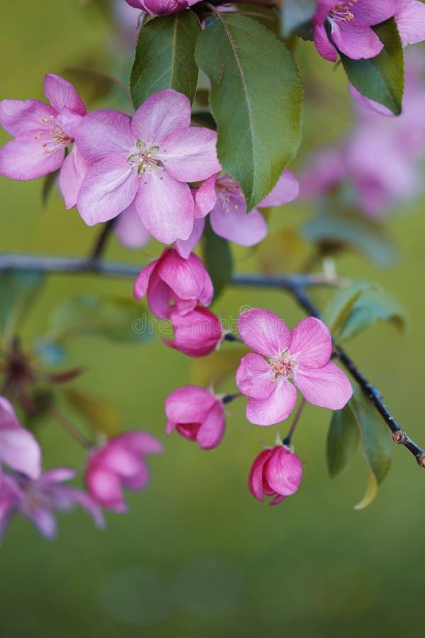 Vårbakgrund med att blomstra filialen av det rosa äppleträdet royaltyfri foto