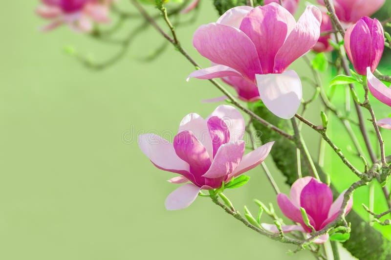 Vårbakgrund med rosa härliga magnolior Blommande magno royaltyfri fotografi
