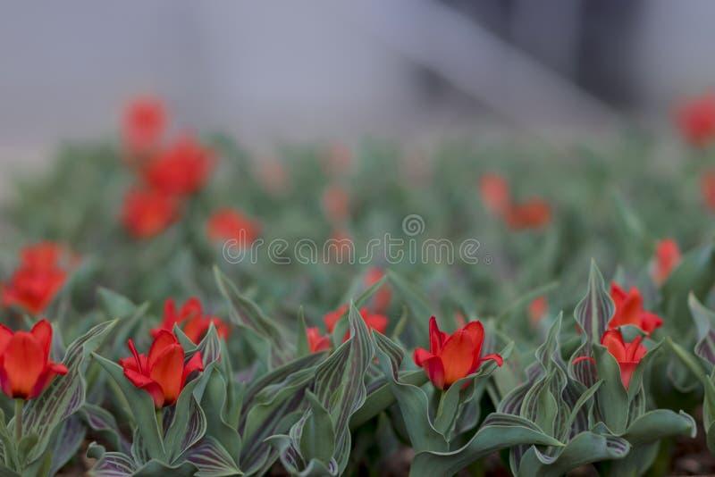 Vårbakgrund med små röda tulpan arkivbilder